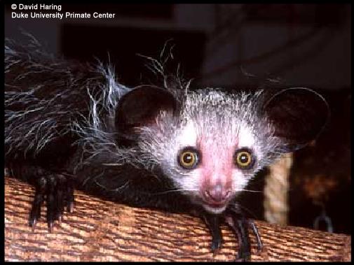 http://images.wildmadagascar.org/pictures/David_Haring/ayeaye_02.jpg