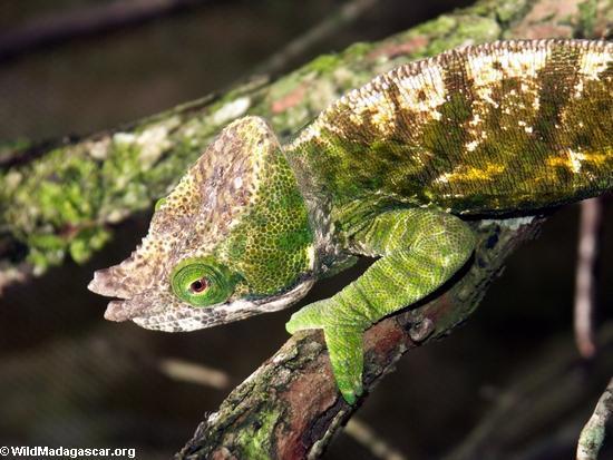 Calumma oshaughnessyi chameleon