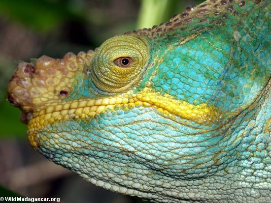 Calumma parsonii chameleon