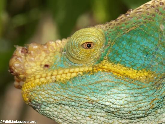 Calumma parsoni chameleon near Andasibe (Andasibe)
