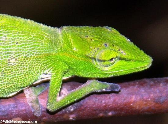 Furcifer gastrotaenia chameleon(Andasibe)