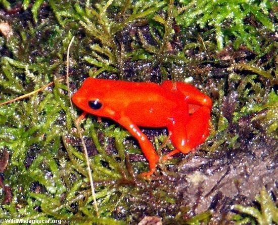 Mantella aurantiaca frog