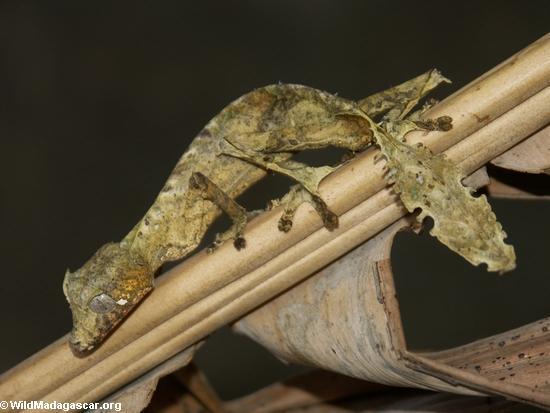 Uroplatus phantasticus Satanic leaf-tail gecko