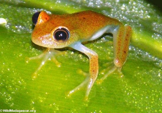 Perinet frog (Boophis?) (Andasibe)