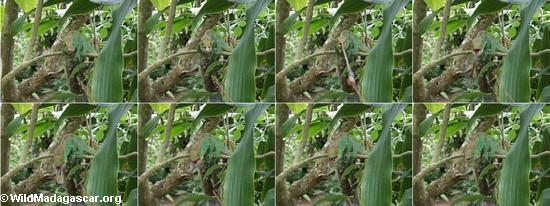 Einziehendes Calumma parsoni, Zunge Reihenfolge