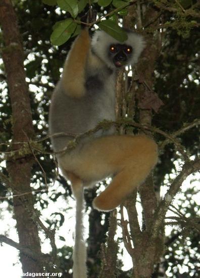 Propithecus diadema diadema lemur in Mantady (Mantady)