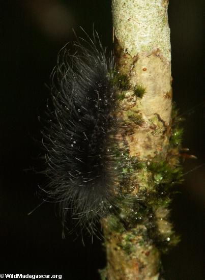 Black caterpillar in Perinet (Andasibe)