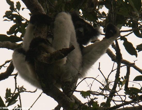 Indri indri (Andasibe)