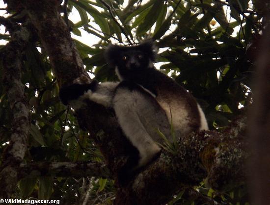Indri lemur(Andasibe)