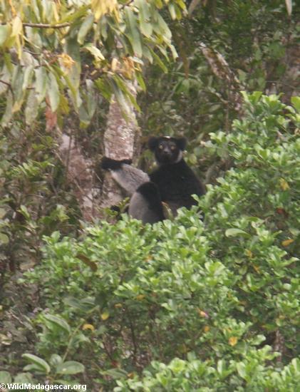 Indri indri lemur (Andasibe)