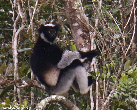 Indri lemur in Andasibe(Andasibe)
