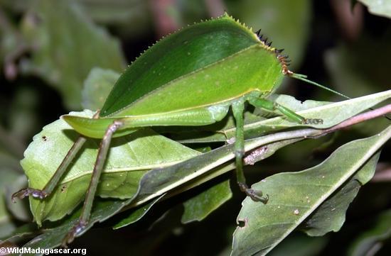 Leaf mimic insect