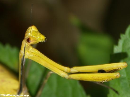 mantid yellow(Andasibe)