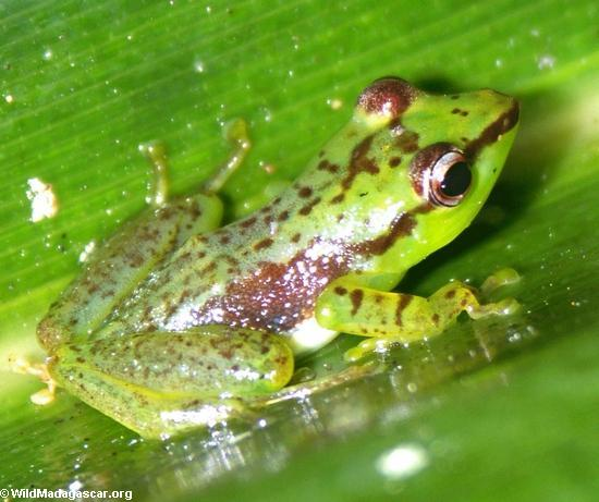 mantidactylus pulcher (Andasibe)