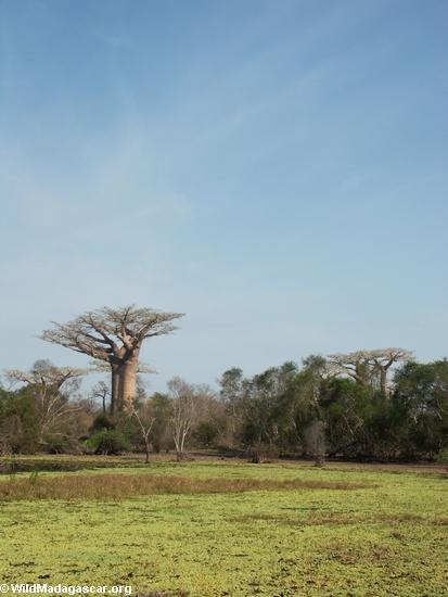 Baobab trees near pond (Morondava) [baobabs0007]