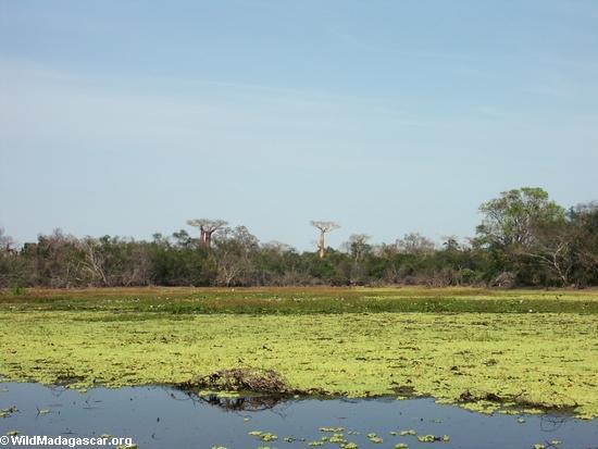 Baobabs near pond (Morondava) [baobabs0008]
