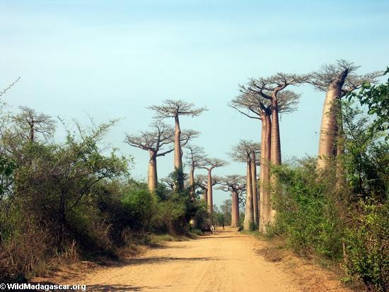 baobabs вдоль дороги