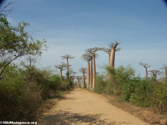 Baobabs (Morondava) [baobabs0013]