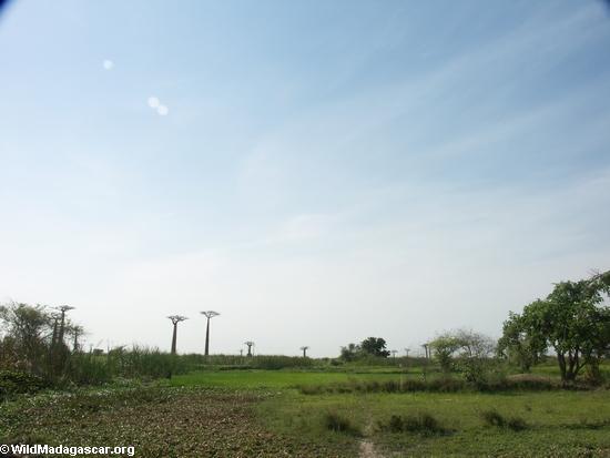 Baobabs (Morondava) [baobabs0015]