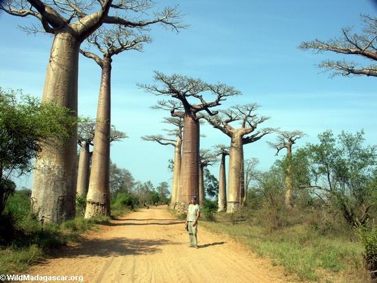 Baobab Alley (Morondava) [baobabs0021]