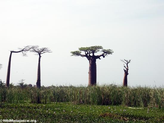 Baobabs (Morondava) [baobabs0024]