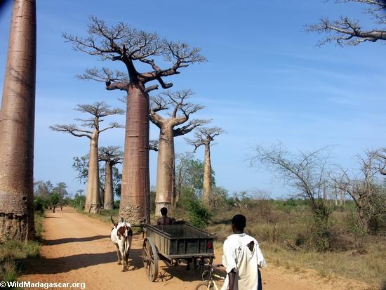 Baobabs with zebu cart (Morondava) [baobabs0027]