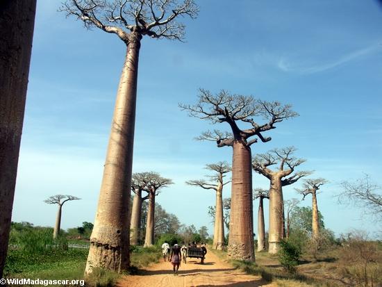 Baobabs with zebu cart(Morondava)