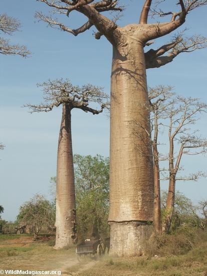 Baobabs (Morondava) [baobabs0030]