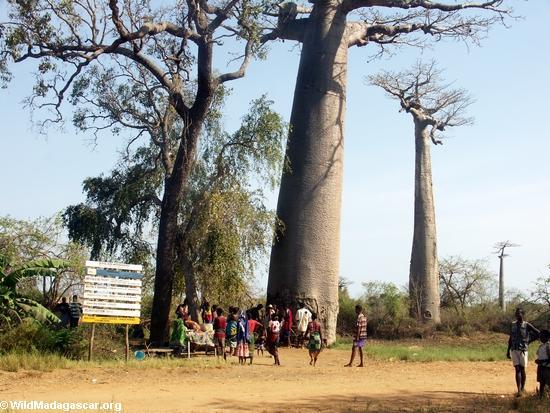Baobabs (Morondava) [baobabs0033]