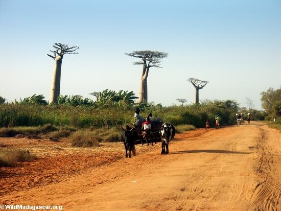 Baobabs (Morondava) [baobabs0077]