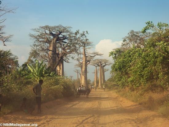 Baobabs (Morondava) [baobabs0082]