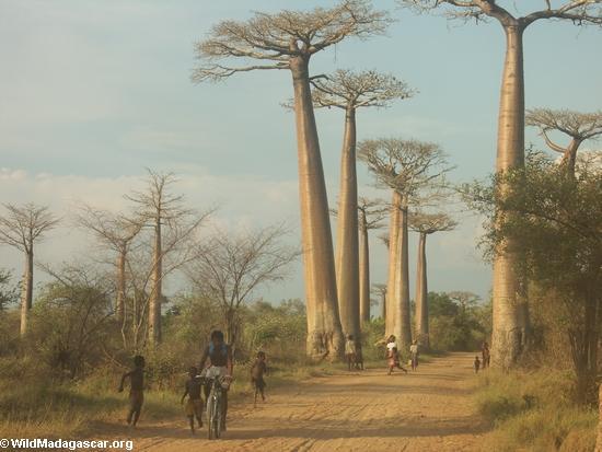 Baobabs (Morondava) [baobabs0084]