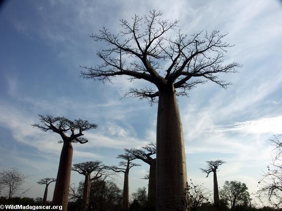 Baobabs (Morondava) [baobabs0089]