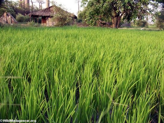 Rice fields near Morondava (Morondava)