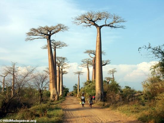 Baobabs (Morondava) [baobabs0104]