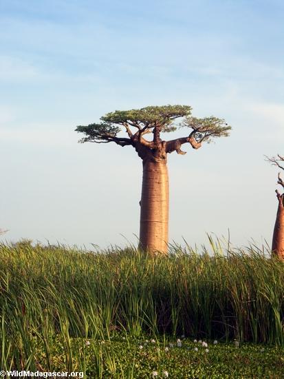 Baobabs (Morondava) [baobabs0105]