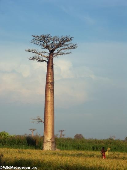 Baobabs (Morondava) [baobabs0106]