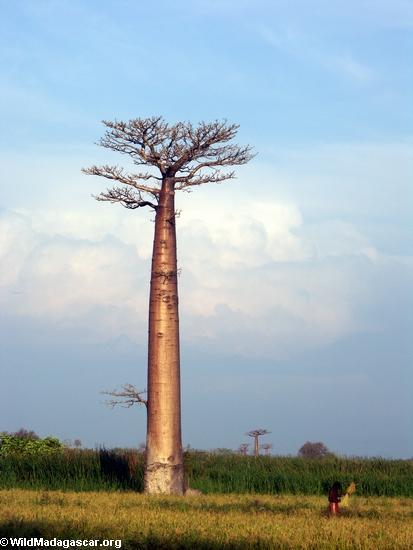 Baobabs (Morondava) [baobabs0107]