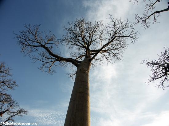 Baobabs (Morondava) [baobabs0119]