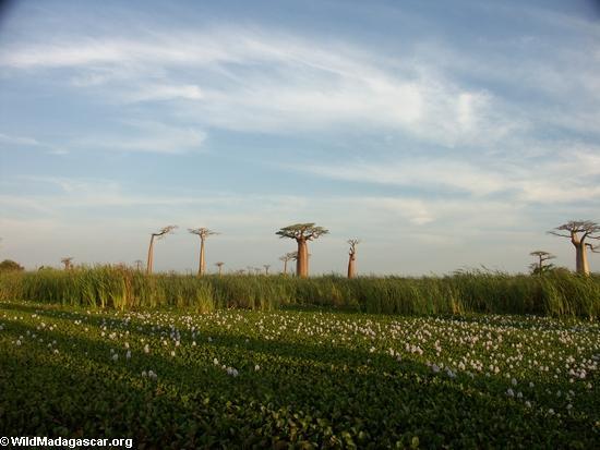 Baobabs (Morondava) [baobabs0121]