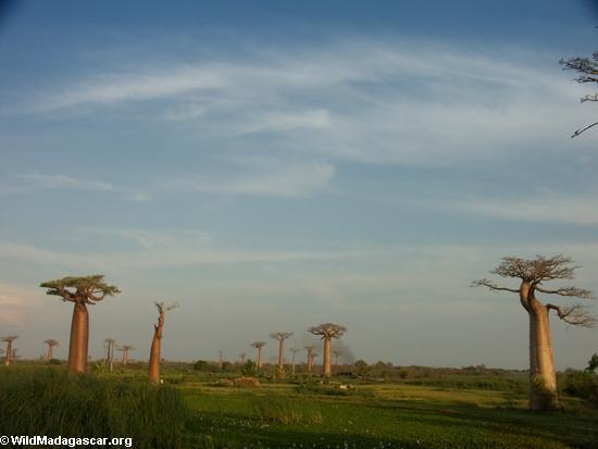 Baobabs (Morondava) [baobabs0126]