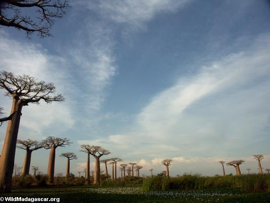 Baobabs (Morondava) [baobabs0129]