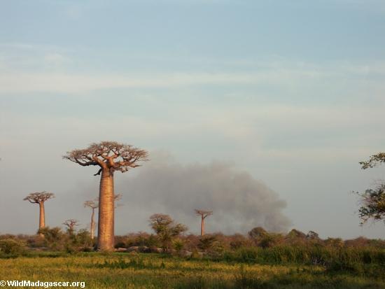 Baobabs (Morondava) [baobabs0133]