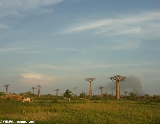 Baobabs (Morondava) [baobabs0136]