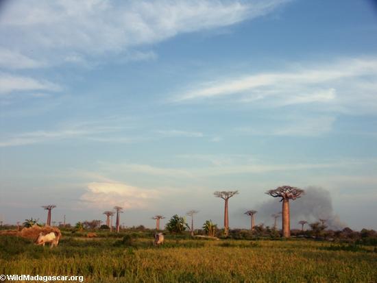 Baobabs (Morondava) [baobabs0137]