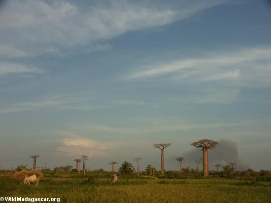 Baobabs (Morondava) [baobabs0138]