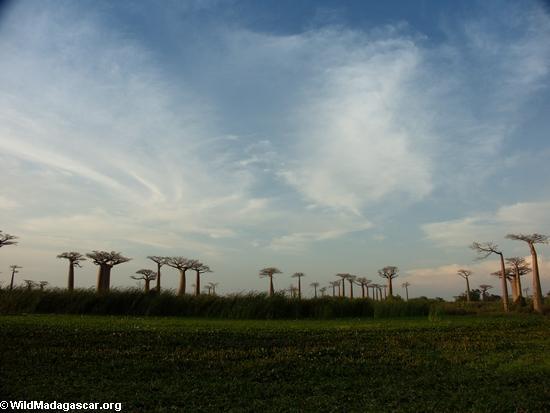 Baobabs (Morondava) [baobabs0139]