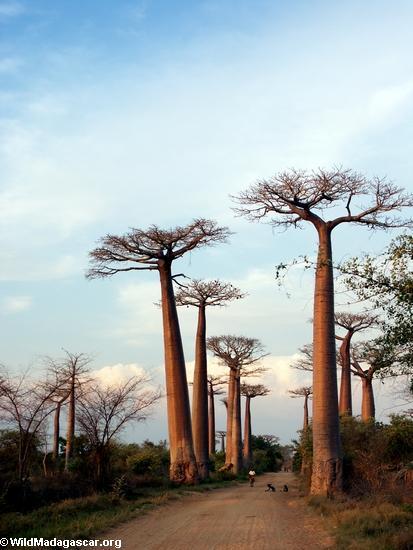 Baobabs (Morondava) [baobabs0142]