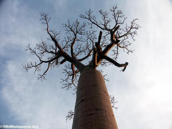 Baobabs (Morondava) [baobabs0143]