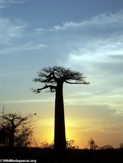 Baobabs (Morondava) [baobabs0146a]